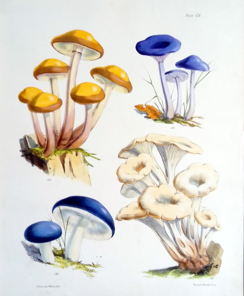 Image for Illustrations of the Fungi of Our Fields and Woods. Drawn from Natural Specimens - First and Second Series, Two Volumes